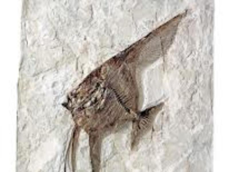 fossili_Bolca