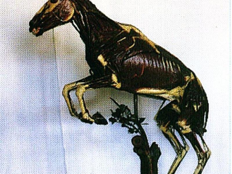 Parma, Museo della sez. di Anatomia degli Animali di Interesse Medico Veterinario