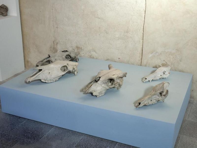 Mostra permanente di paleontologia. Teschi di Fedeli, Marcello; jpg; 2126 pixels; 1417 pixels