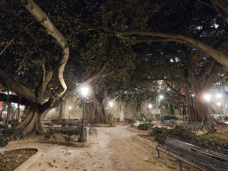 Ficus in Piazza della Marina
